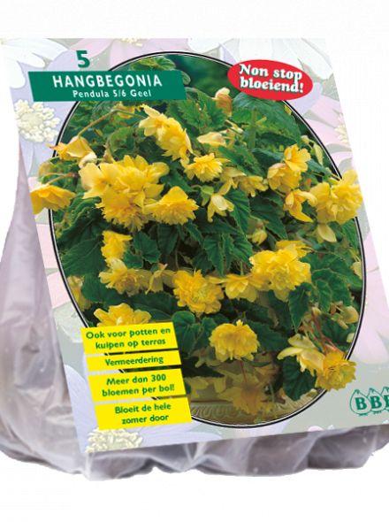 Begonia Pendula, Geel (hangende knolbegonia)
