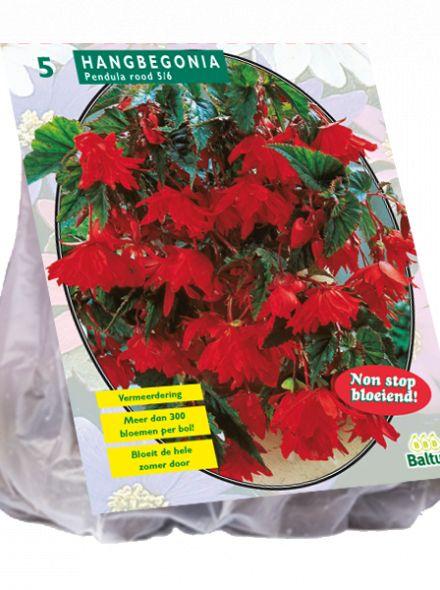 Begonia Pendula, Rood (hangende knolbegonia)