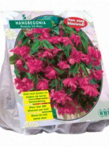 Begonia Pendula, Roze (hangende knolbegonia)