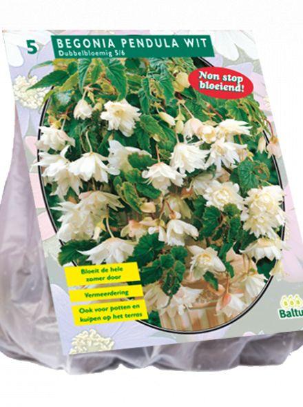 Begonia Pendula, Wit (hangende knolbegonia)