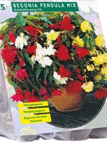 Begonia Pendula, Mix (hangende knolbegonia)
