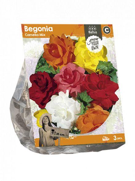 Begonia Camelia Mix