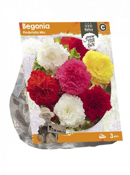Begonia Fimbriata Mix (Gefranjerde begonia)