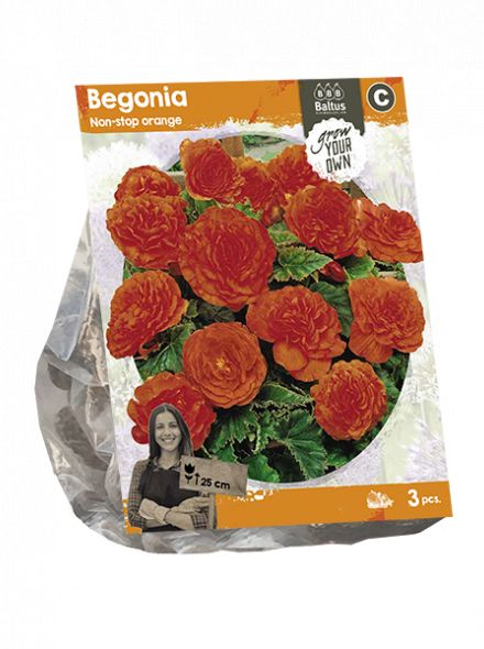 Begonia Non-stop orange