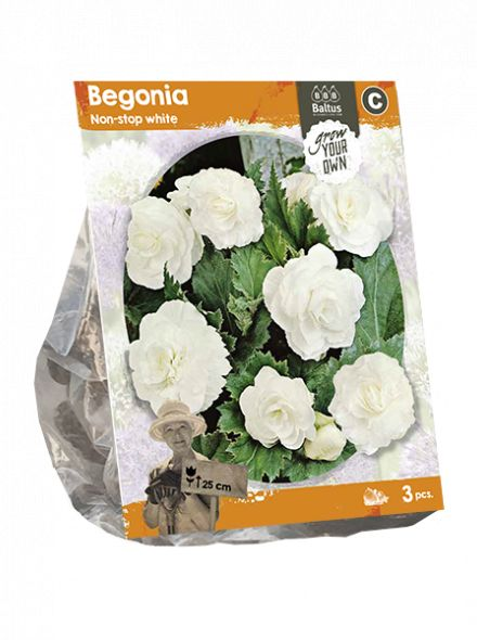 Begonia Non-stop white