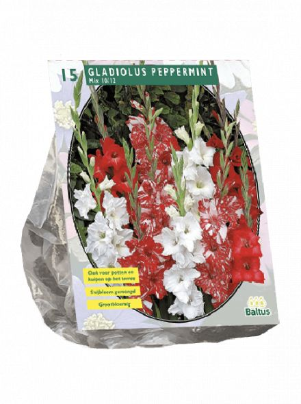 Gladiolus Peppermint (gladiolen mix)