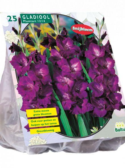 Gladiolus Plumtart (paarse gladiool)