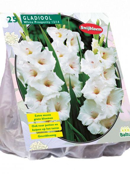 Gladiolus White Prosperity (witte gladiool)