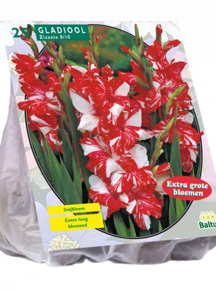 Gladiolus Zizanie (rood witte gladiool)