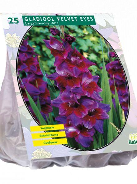 Gladiolus Velvet Eyes (paarse gladiool)