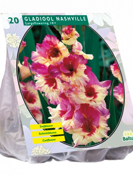 Gladiolus Nashville (meerkleurige gladiool)