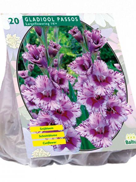 Gladiolus Passos (lavendel paarse gladiool)
