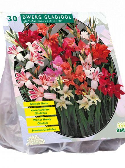 Gladiolus Nanus mix per 30