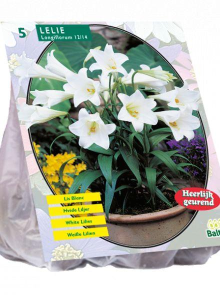 Lilium Longiflorum (Paaslelie, Aziatische lelie, graflelie)