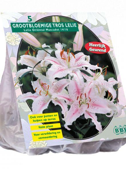 Lilium Oriental Muscadet (wit roze Oriëntal, Oosterse Lelie)