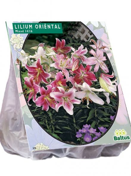 Lilium Oriental Mix (karmijnrode, witte, Oriëntal, Oosterse Lelie)
