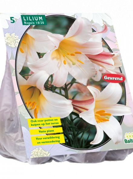Lilium Regale (witte Koningslelie)