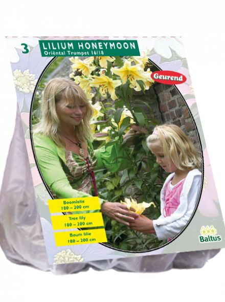 Lilium Honeymoon (gele Boomlelie)