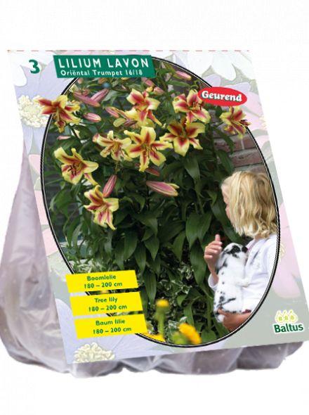 Lilium Lavon (geel rode Boomlelie)