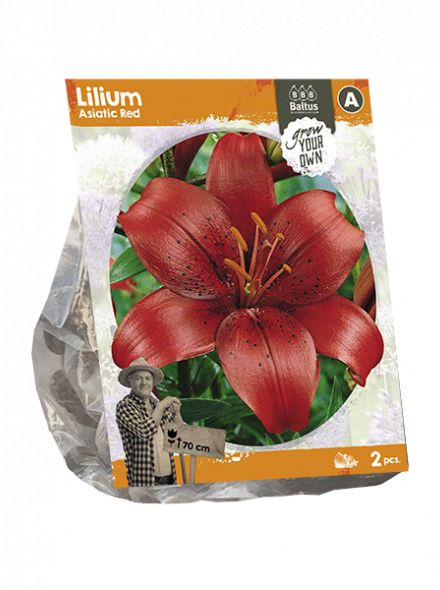 Lilium Asiatic Red (rode Aziatische lelie)