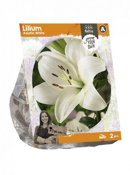 Lilium Asiatic White (witte Aziatische lelie)