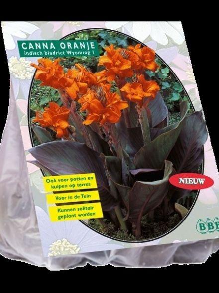 Canna bruinblad, Oranje (Indisch Bladriet, Bloemriet)