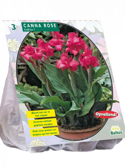 Canna groenblad, Roze (Indisch Bladriet, Bloemriet)