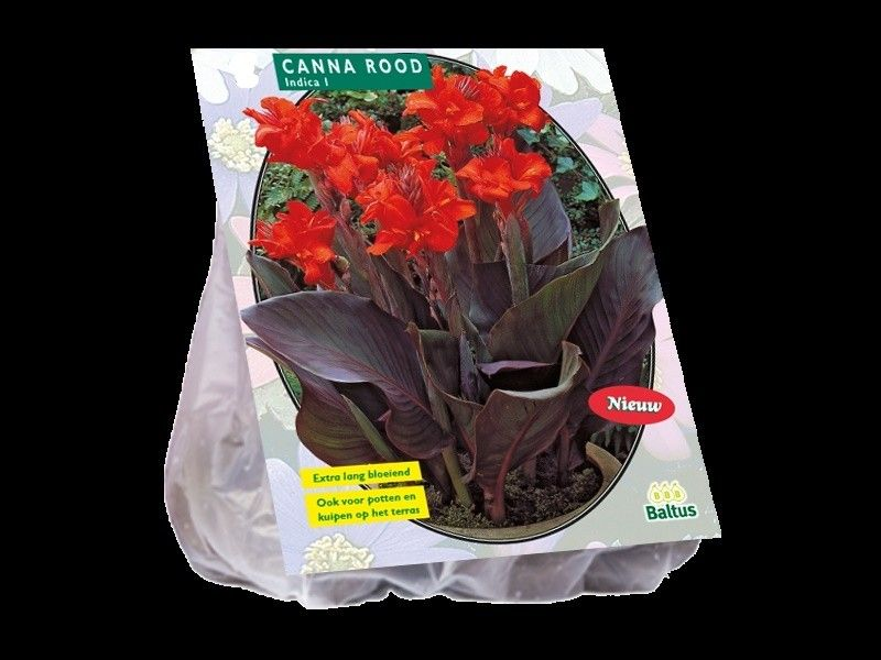 Canna donkerroodblad, Rood (Indisch Bladriet, Bloemriet)