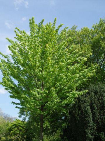 Acer rubrum  - Canadese esdoorn                   , Rode esdoorn