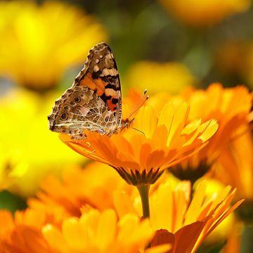 Zijn er planten die veel door vlinders bezocht worden?