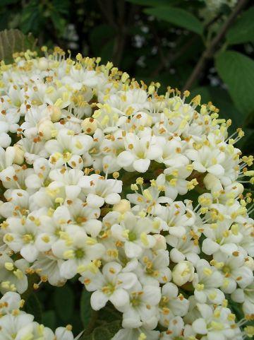 Viburnum lantana 'Mohican' - Wollige sneeuwbal