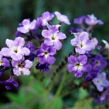 Hoe help ik mijn tuinheliotropen de winter door?