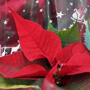 Hoe krijgen kwekers of bloemisten een kerstster weer in bloei?