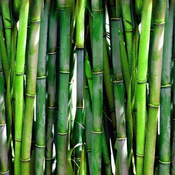 Hoe moet ik een dode bamboehaag vervangen?