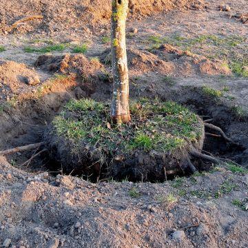 Bomen en heesters verplanten, rooien