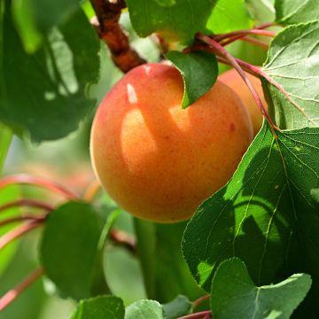 Abrikoos zonder vruchten, hoe komt dat?
