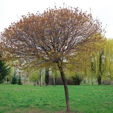 Snoeien van bolesdoorns (Acer platanoides 'Globosum'