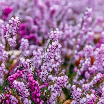 Struiken en vaste planten die bloeien in de winter