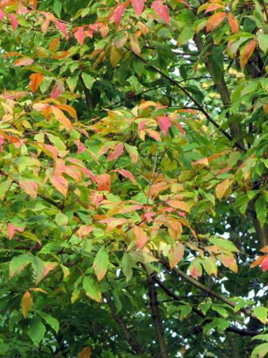 Acer triflorum  - Driebloemige esdoorn