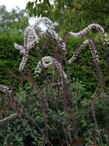 Actaea simplex 'Luftschlange' - Zilverkaars