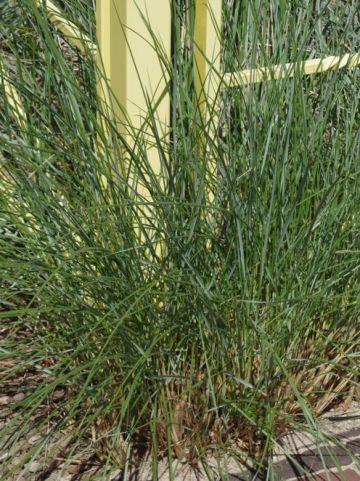 Ammophila arenaria  - Helmgras