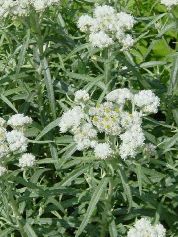 Anaphalis margaritacea  - Siberische edelweis                , Witte knoop                        , Prachtrozenkransje