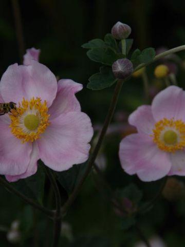 Anemone × hybrida 'Ouvertüre' - Herfstanemoon