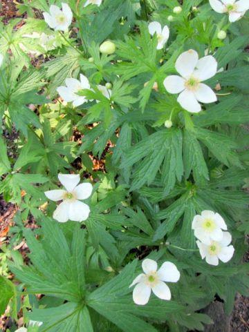 Anemone canadensis  - Canadese anemoon