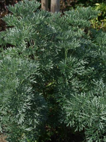 Artemisia stelleriana  - Edelruit