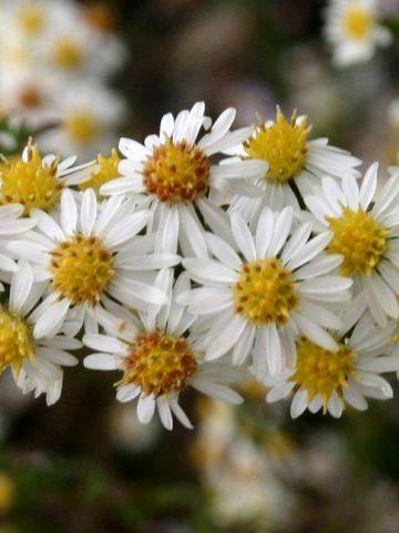 Aster ericoides 'White Heather' - Aster