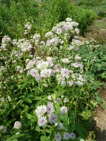 Astrantia major 'Shaggy' - Wit zeeuws knoopje