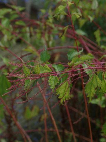 Boehmeria tricuspis  -