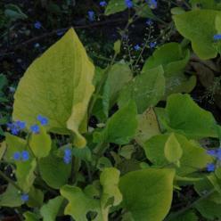Brunnera macrophylla 'Diana's Gold' - Kaukasische vergeet-mij-niet
