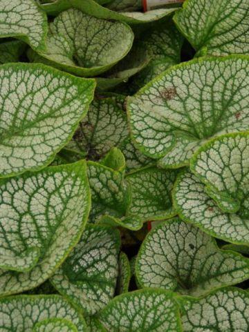 Brunnera macrophylla 'Sea Heart' - Kaukasische vergeet-mij-niet